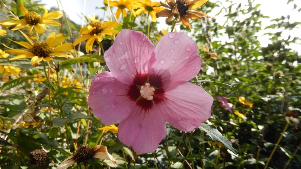 Cannero Riviera - fiori Ibisco
