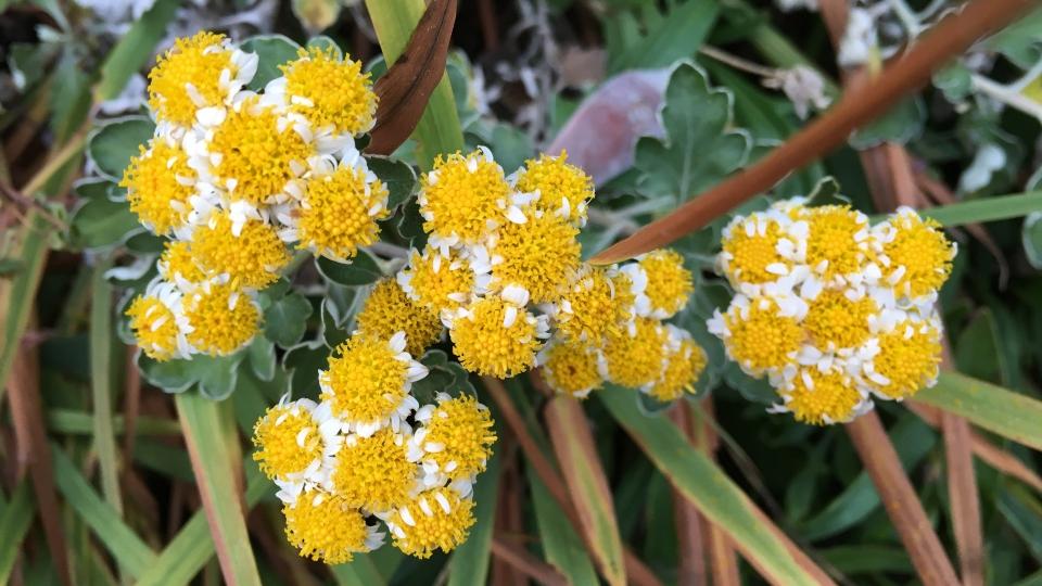 Cannero Riviera - fiori Crisantemo giapponese