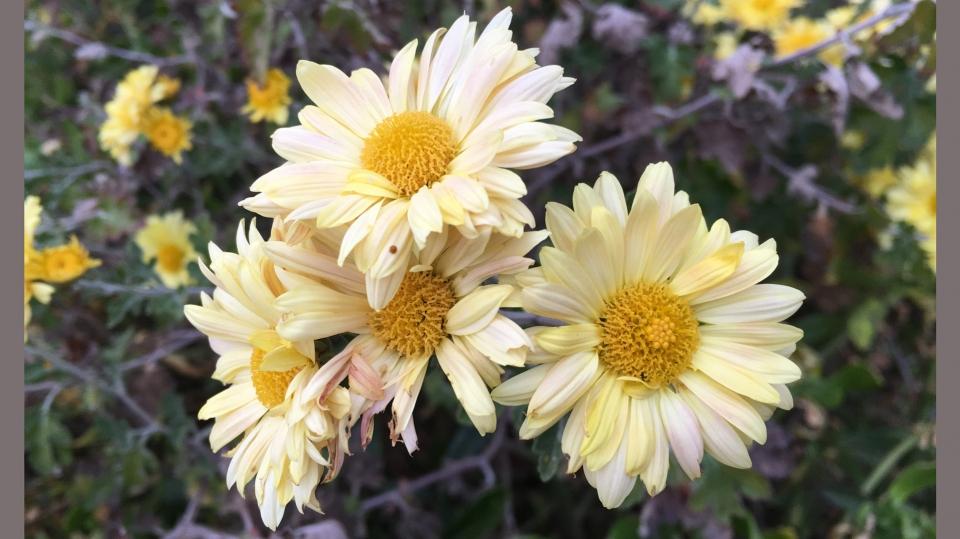 Cannero Riviera - fiori Crisantemo