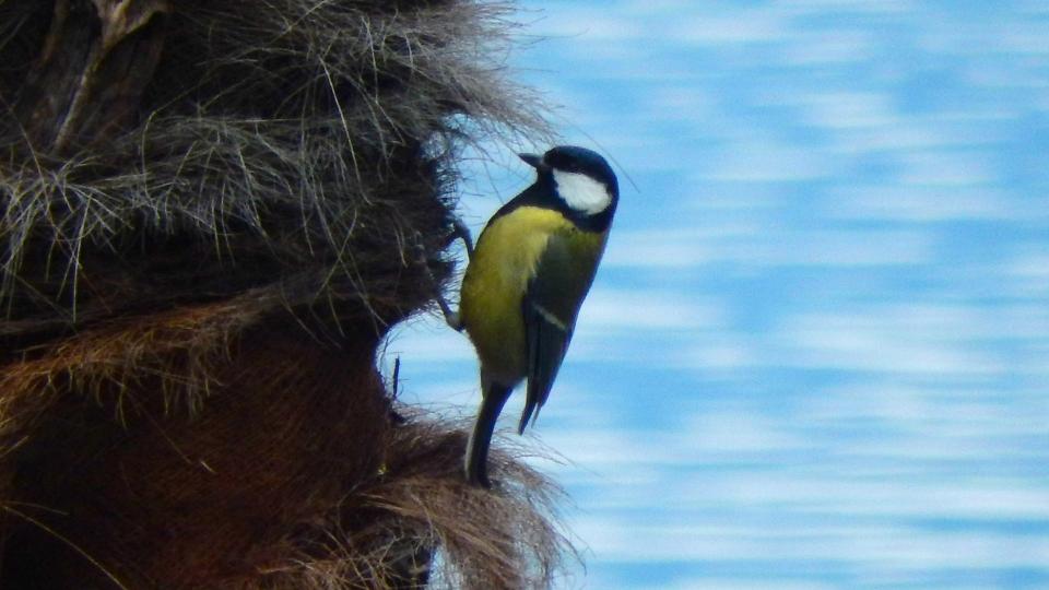 Cannero Riviera - Fauna Cinciallegra