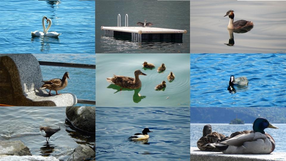 Cannero Riviera - Fauna