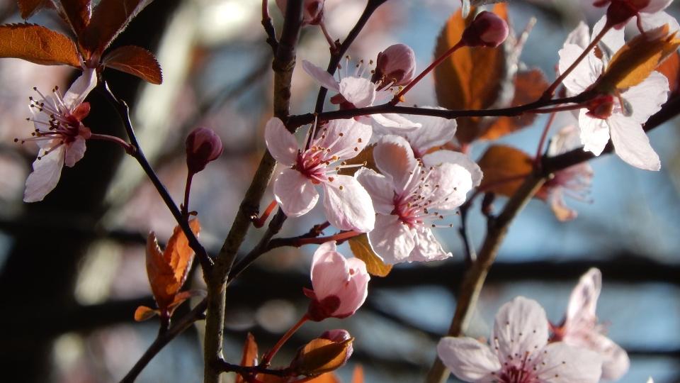 Cannero Riviera - Fiori Prunus cerasifera