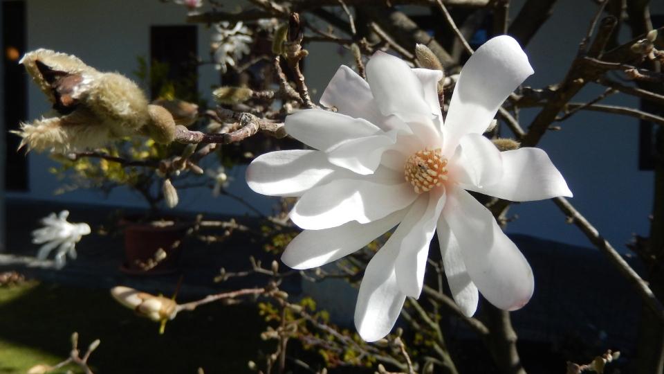 Cannero Riviera - Fiori Magnolia stellata