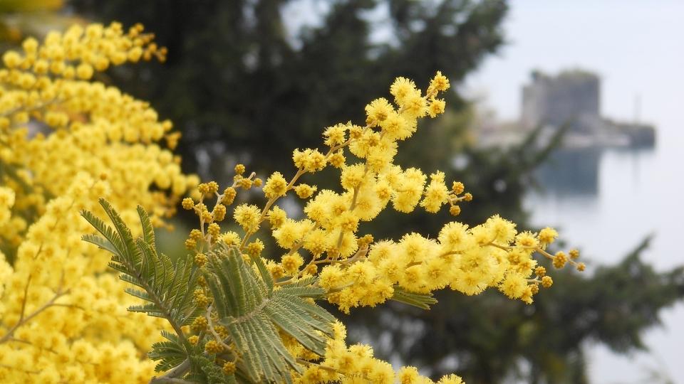 Cannero Riviera - Fiori Mimosa