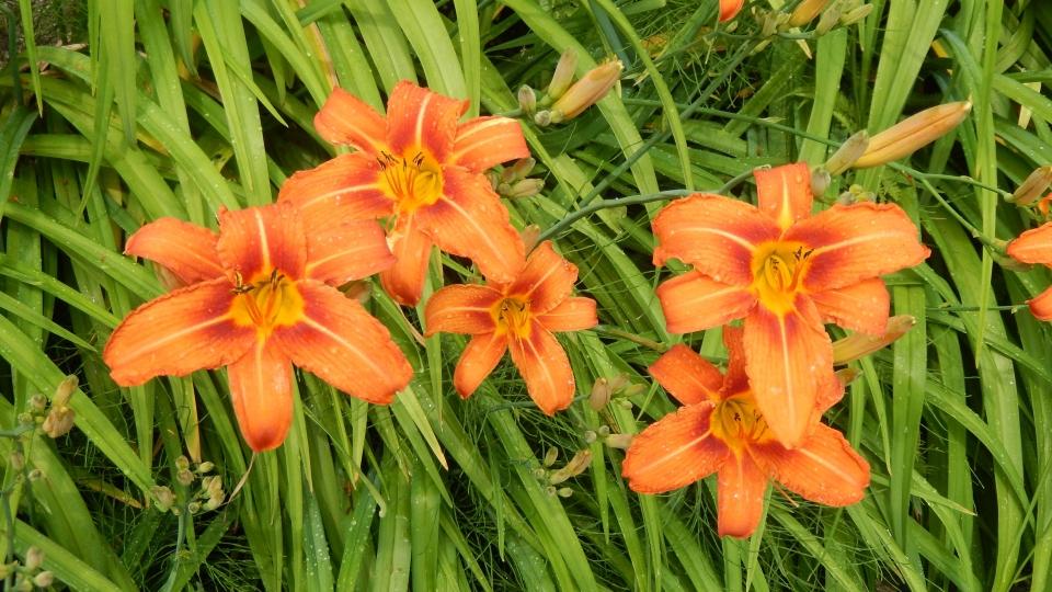 Cannero Riviera - Fiori Hemerocallis arancione