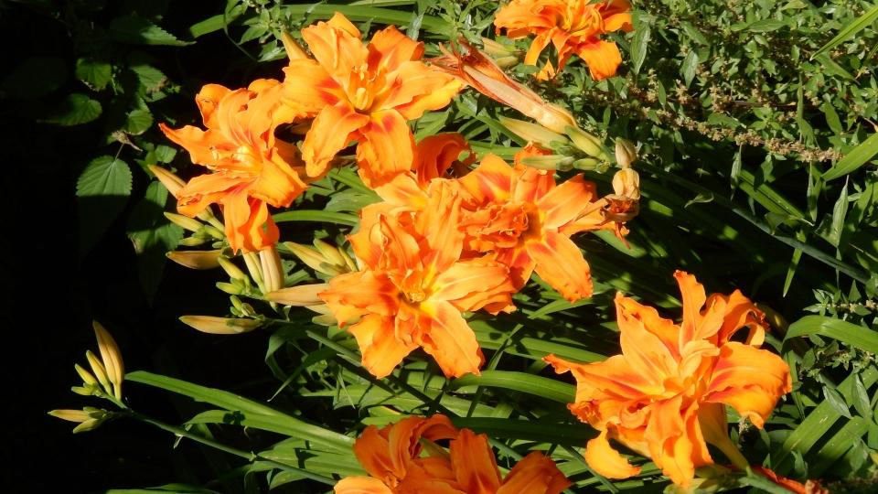 Cannero Riviera - Fiori Hemerocallis arancione a fiore doppio