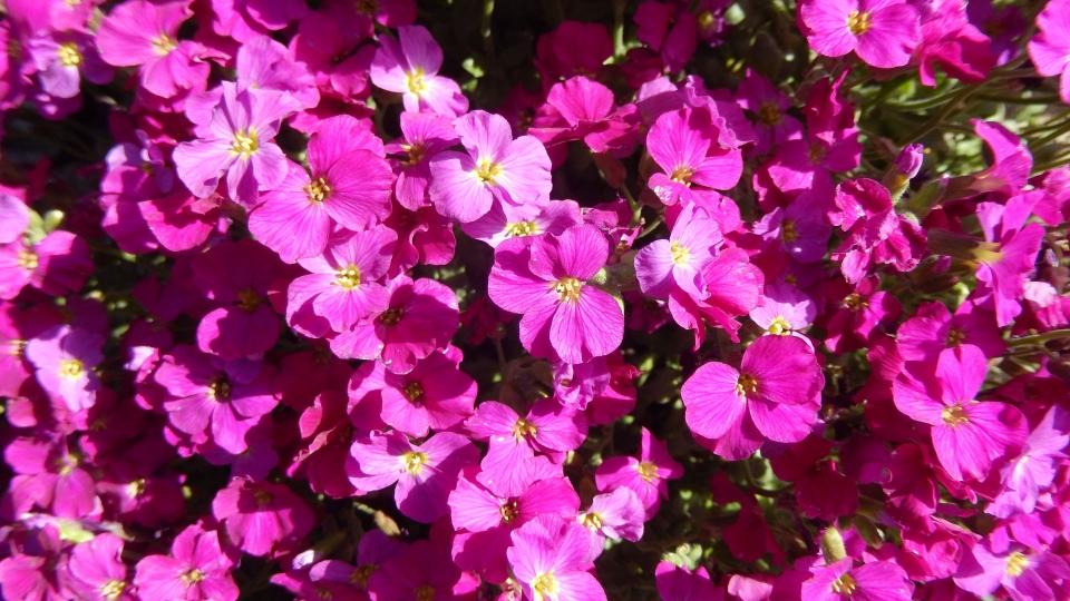 Cannero Riviera - Fiori Arabis caucasica rosa